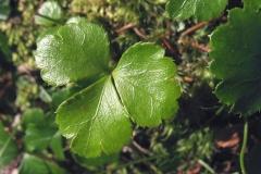 Leaves-of-Threeleaf-goldthread