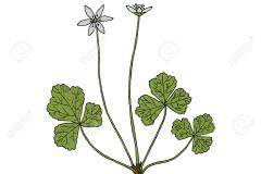 Plant-Illustration-of-Threeleaf-goldthread