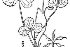 Sketch-of-Threeleaf-goldthread