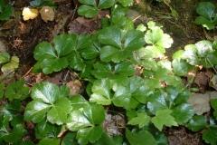 Threeleaf-goldthread-Plant