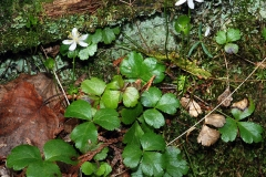 Threeleaf-goldthread-plant-growing-wild