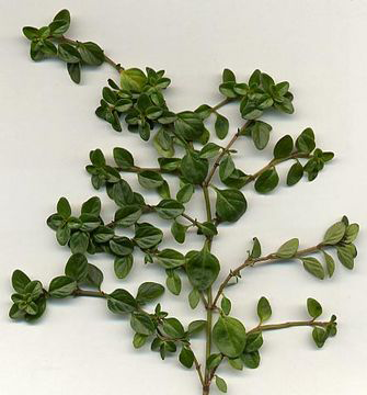 Branch-of-Thyme-herb