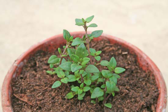 Small-Thyme-plant