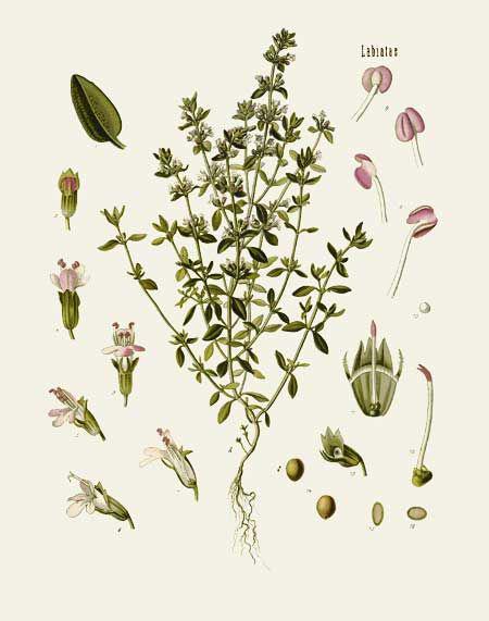 Thyme-plant-Illustration