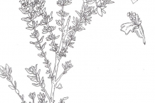 Sketch-of-Thyme-plant