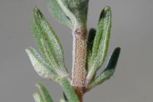 Stem-of-Thyme-herb