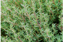 Thyme-bushes