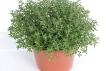 Thyme-plant