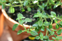 Leaves-of-Thyme-herb