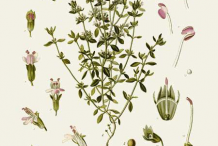 Thyme-plant-Illustration