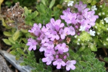 Close-up-flower-of-Thyme