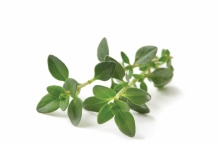 Leaves-of-Thyme