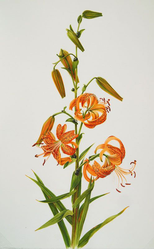Plant-Illustration-of-Tiger-Lily