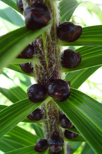 Seeds-of-Tiger-Lily
