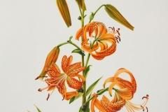 Plant-Illustration-of-Tiger-Lily
