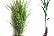 Tigernut-plant