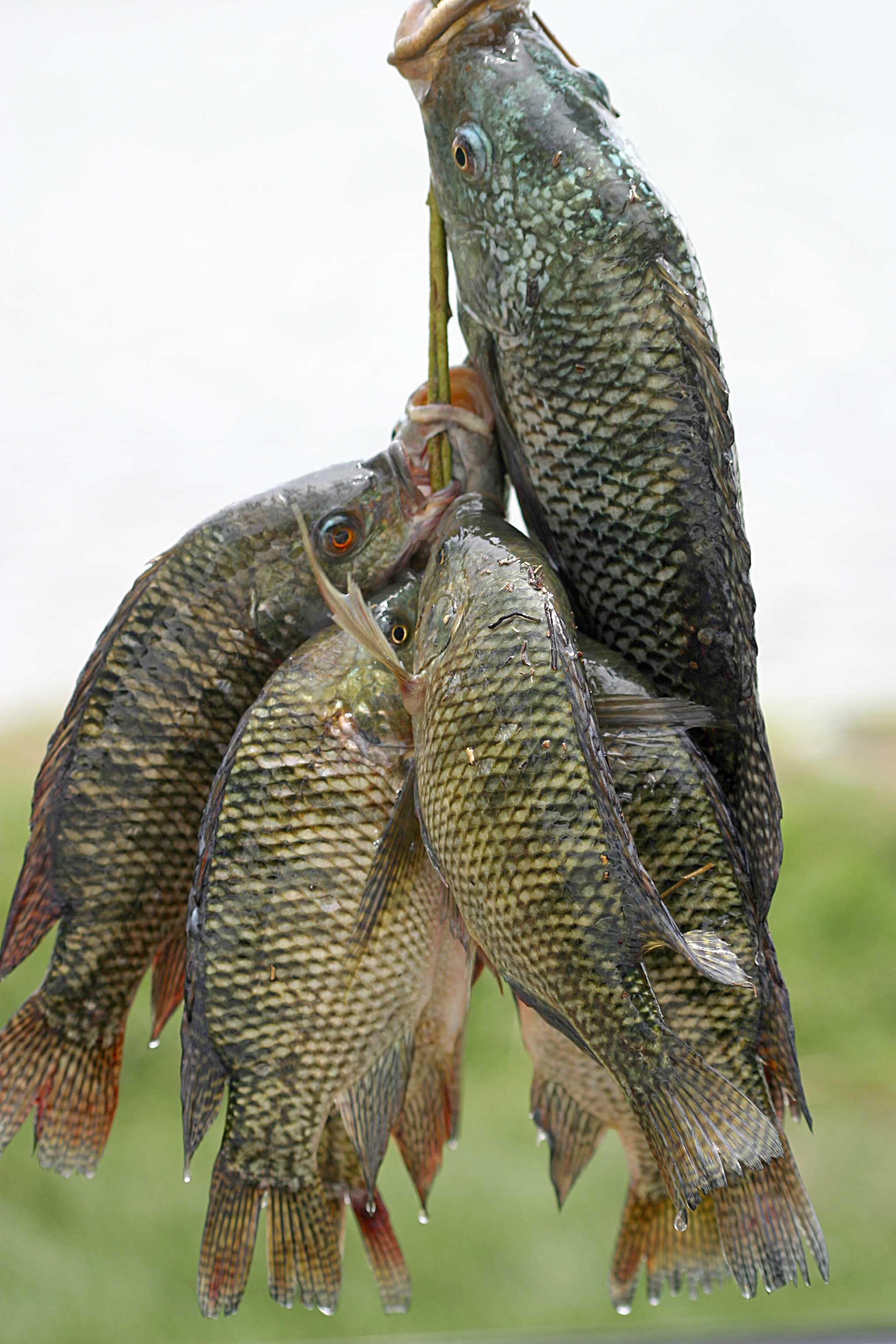 Fresh-Tilapia-fish