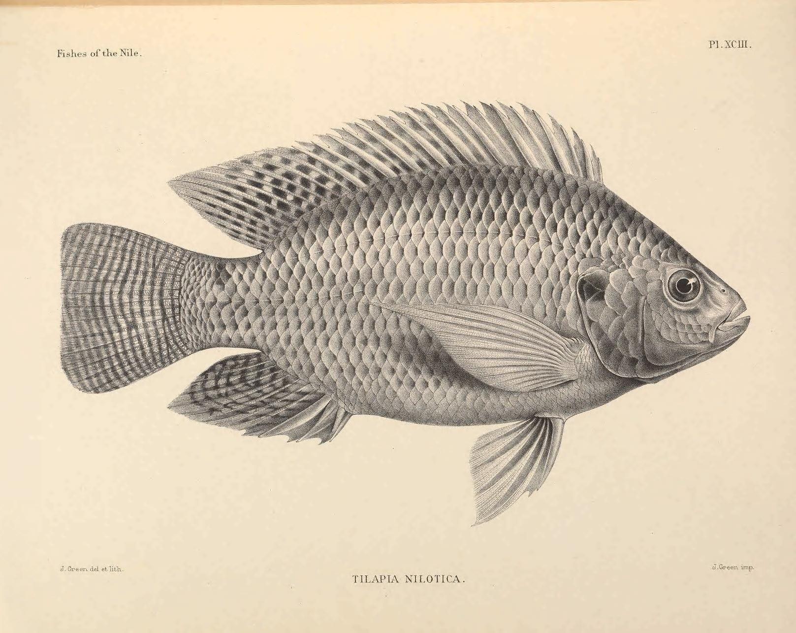 Illustration-of-TIlapia-fish