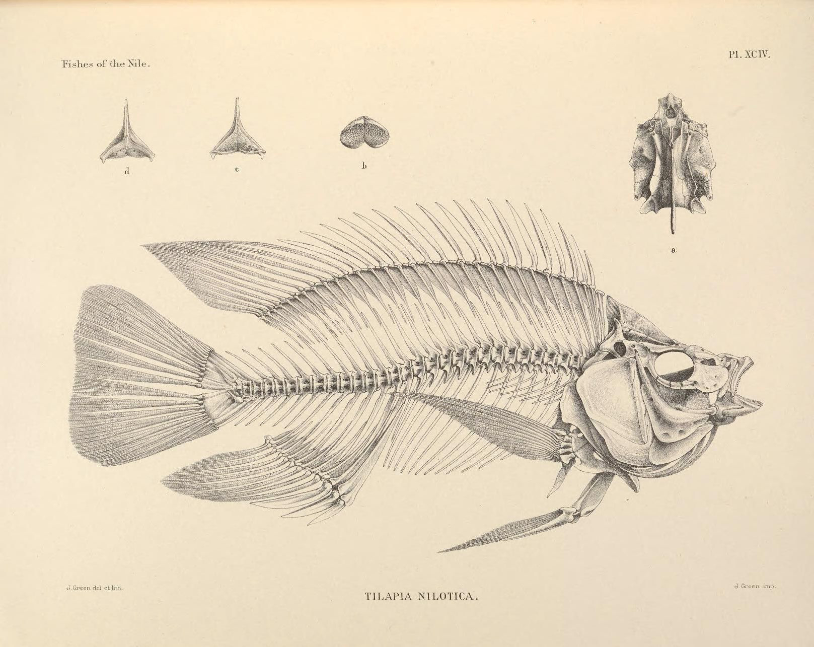 Illustration-of-Tilapia-skeleton