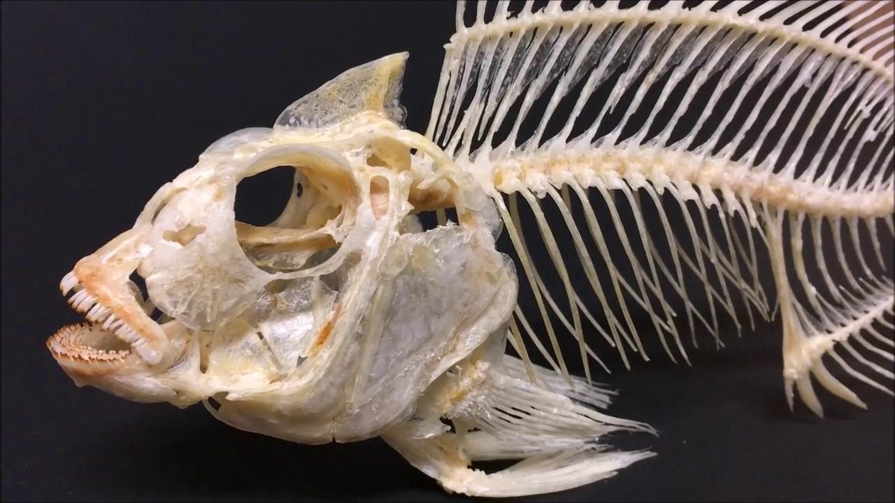 Skull-of-Tilapia-fish