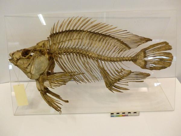 Tilapia-fish-skeleton