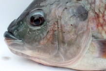 Eye-of-Tilapia-fish