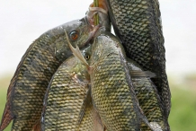 Fresh-Tilapia-fish