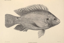 Illustration-of-TIlapia-fish