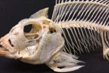 Skull-of-Tilapia-fish