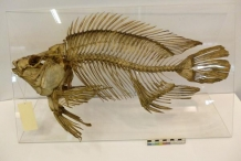 Tilapia-fish-skeleton