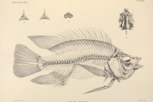 Illustration-of-Tilapia-skeleton