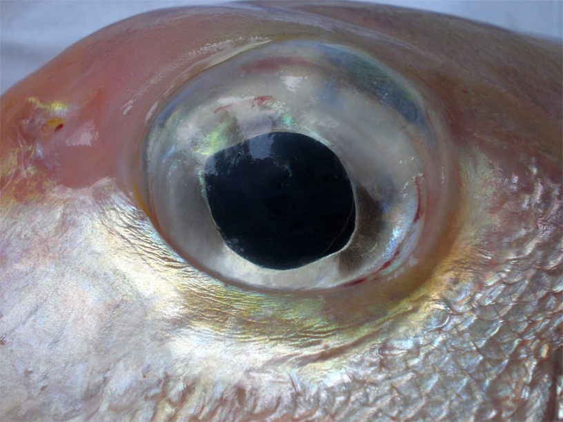Eye-of-Tilefish