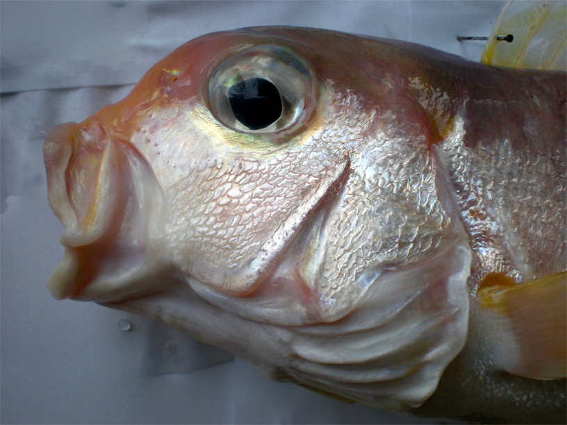 Head-of-TIlefish