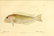 Illustration-of-Tilefish