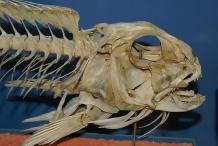Skull-of-Tilefish
