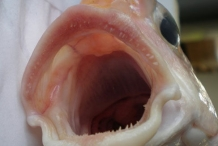 Mouth-of-Tilefish