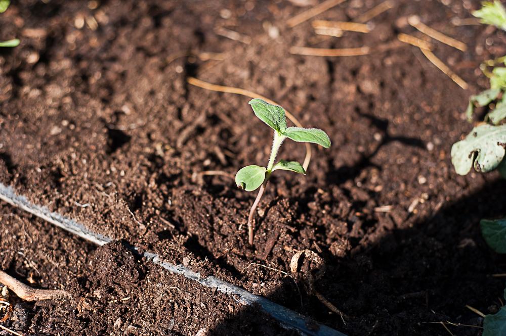 Tomatillo-sprouts