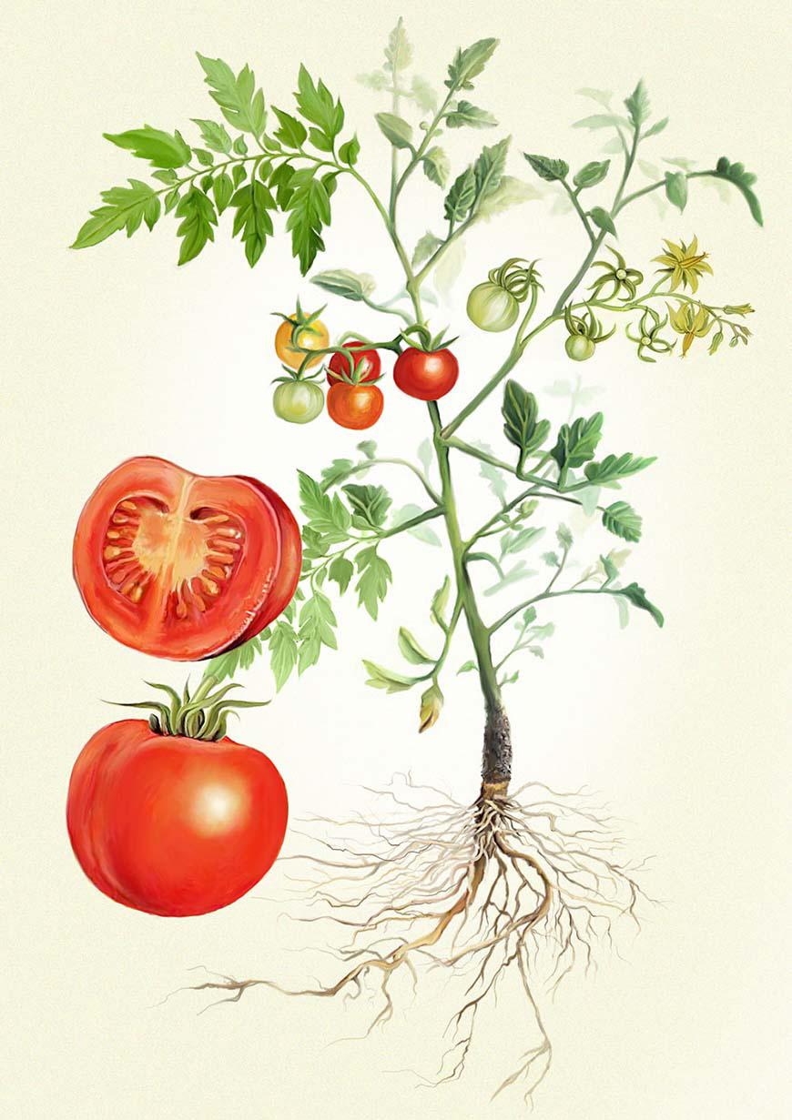 Plant-illustration-of-Tomato