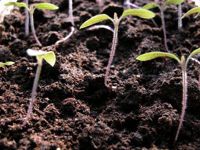 Seedlings-of-Tomato
