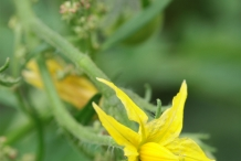 Close-up-flower-of-Tomato