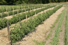 Farm-of-Tomato