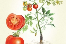 Plant-illustration-of-Tomato