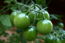Tomato-unripened