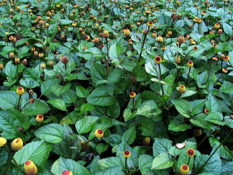 Toothache-plant-growing-wild