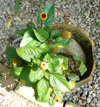 Toothache-plant-growing-on-pot