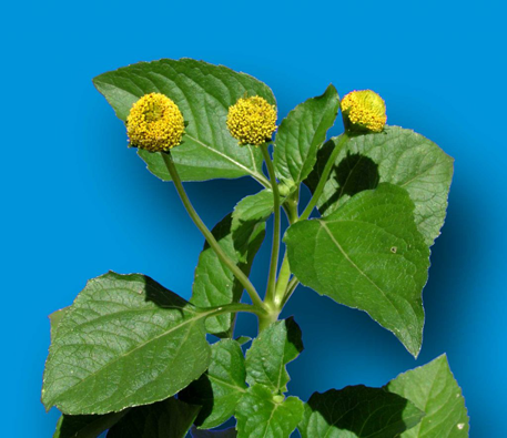Toothache-plant