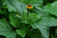 Leaves-of-Toothache-plant