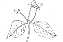 Sketch-of-Toothache-plant