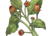 Plant-Illustration-of-Toothache-plant