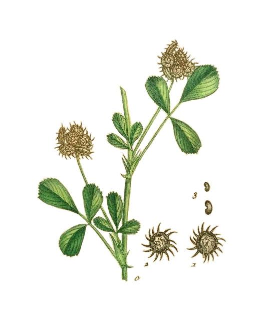 Plant-Illustration-of-Toothed-Bur-Clover